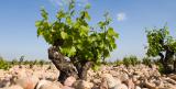 chateauneuf du pape vineyard ©chateau la nerthe
