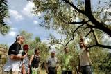 Olive Trees orchard visiti ©Alain Roth.jpg